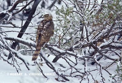 COOPER'S HAWK IN THE SNOW