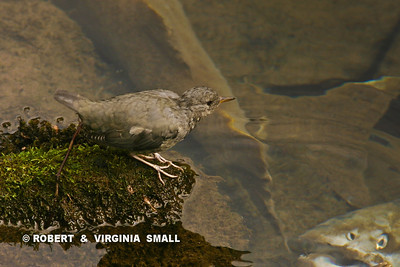 AMERICAN DIPPER (WATER OUZEL) and SPAWNED OUT SALMON