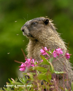 HOARY MARMOT WITH FIREWEED AND MOSQUITOS