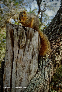 SQUIRREL FEEDING AT TREE SNAG