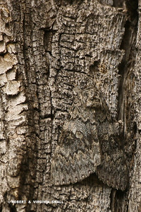 NOW YOU DON'T! CAMOUFLAGED CATACOLA MOTH