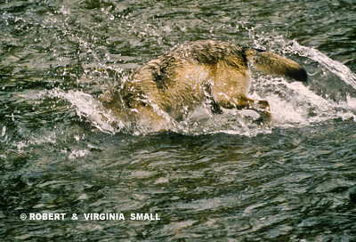GRAY WOLF DIVING FOR SALMON