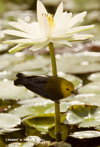 PROTHONOTARY WARBLER ON A WATER LILY
