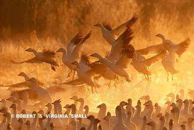 SNOW GEESE RISING  IN MORNING MIST (DETAIL)