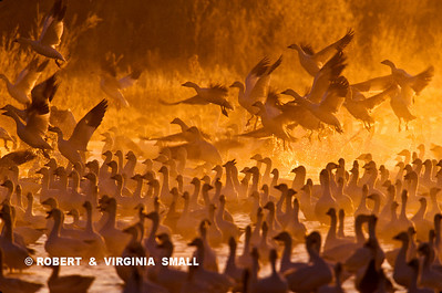 SNOW GEESE RISING IN MORNING MIST