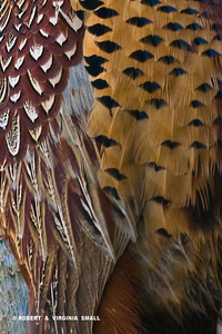 RING-NECKED PHEASANT FEATHERS
