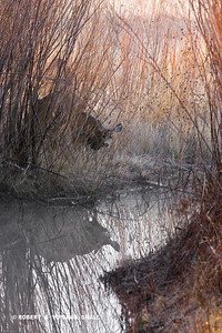 MULE DEER AT CREEK IN SHADOWS