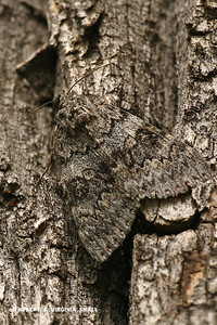 NOW YOU SEE IT - CAMOUFLAGED CATACOLA MOTH