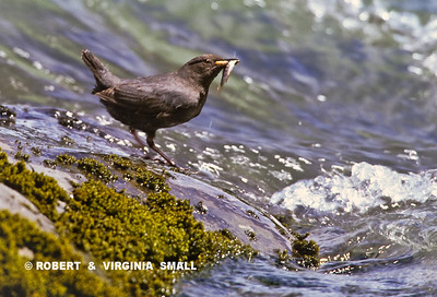 AMERICAN DIPPER  WITH ITS CATCH