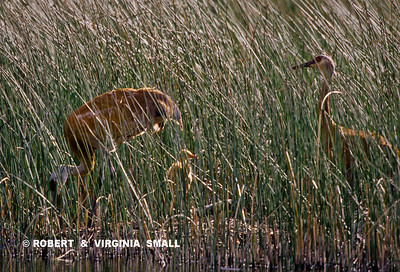 SANDHILL CRANE PAIR AND  FLEDGLING IN GRASSES