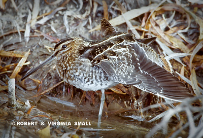 STRETCHING COMMON SNIPE
