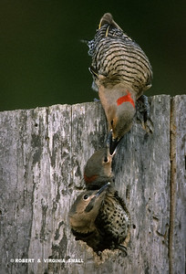 NORTHERN FLICKER FEEDING NESTLINGS