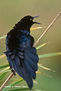 GREAT-TAILED GRACKLE CALLING