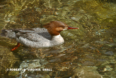 FEMALE MERGANSER IN A SHALLOW CREEK