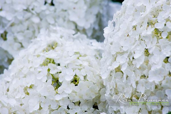 Snowball_flowers