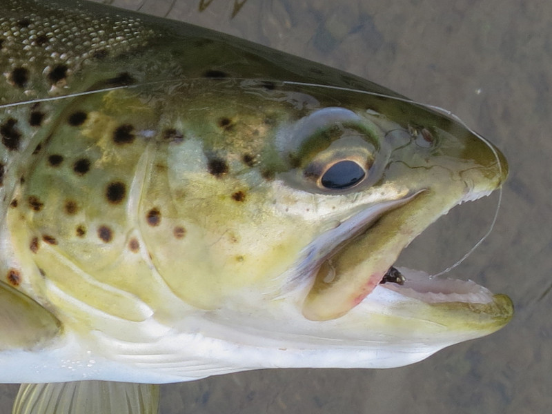South River Brown Trout