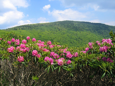 Rhododendron and Grassy Ridge