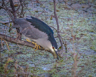 Black-Crowned NIght Heron on the prowl.