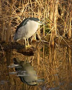 Black-crowned Night Heron. Simply reflecting.