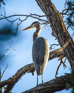 Great Blue Heron in a tree. Thought this was unusual enough to post.