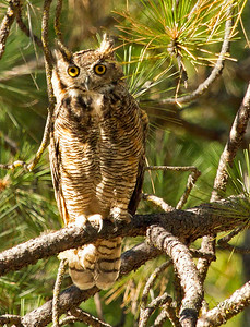 Great Horned Owl. Sierra Nevada Mountains at Pine Mountain Lake.