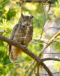 Another Great Horned Owl. Sierra Nevada Foothills.