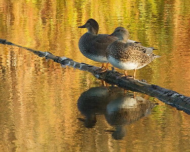 Male and female Gadwalls. The colors here are very close to what I saw. The water color is, of course, a reflection of the tall grasses on the bank.
