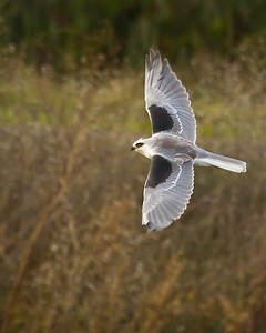 This is a White Tailed Kite. They hover over the ground, eyes scanning the dense ground cover below for field mice and voles.