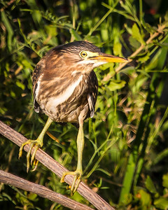 Young Green Heron.