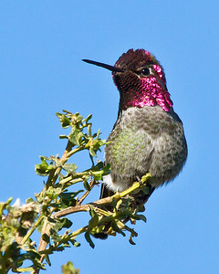 Anna's Hummingbird. Gorgeous little birds. It is also the only of the hummingbirds that doesn't migrate with the seasons.