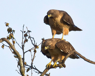 Some one familiar with the location I made these photos at told me that these birds had resided in this particular location for a number of years and over the years successfully raised many offspring. Red-Tailed Hawks are monogamous and mate for life.