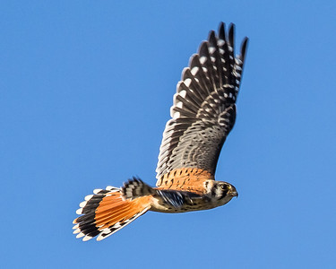 The American Kestrel is a small Falcon. The blue-gray on the wings reveals that this is a male. Kestrels usually feed on small mammals, reptiles, and large insects. They can, and often do, hover over the ground before swooping down upon it's unsuspecting prey. They are also strong and agile flyers, launching into flight very quickly making them difficult to photograph and eliminate any motion blurring. At least for me, this is true.