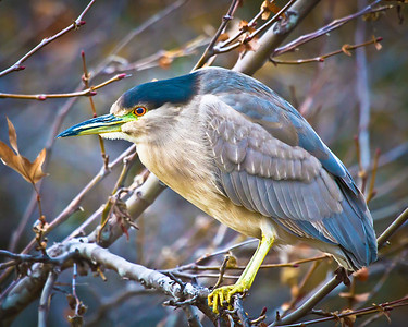 I really like the picture. This is a juvenile night heron.