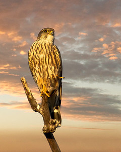 "A Merlin, (Falcon), in the setting sun. Were this a portrait it would be classified as a, ""Hero Shot."""