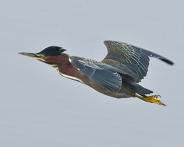 Green Heron on the wing. Looks a little like Woody Woodpecker doesn't it?