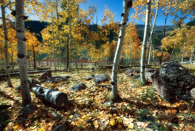 At Lemon Lake near Durango, Colorado, there was one lone stand of Aspens left.