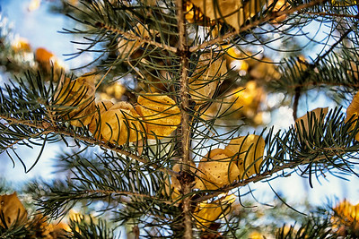 On Middle Mountain near Vallecito, Colorado the spruce trees collect nuggets of golden Aspen leaves.