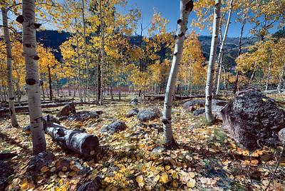 At Lemon Lake near Durango, Colorado, there was one lone stand of Aspens left.  A special toning given to this one.