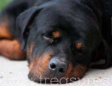 Rotti taking a nap