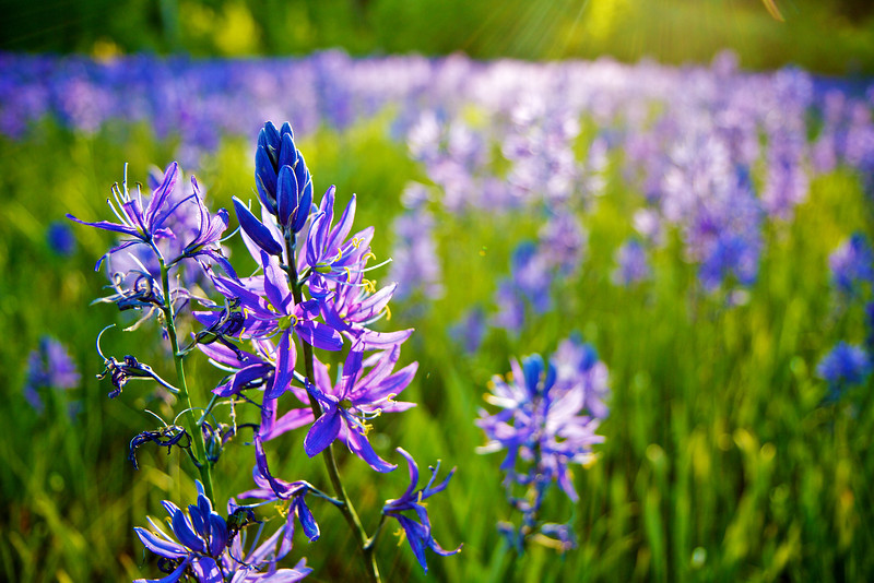 Blue Camas Meadow