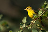 Western Tanager (Female),  Lochsa Lodge, Idaho