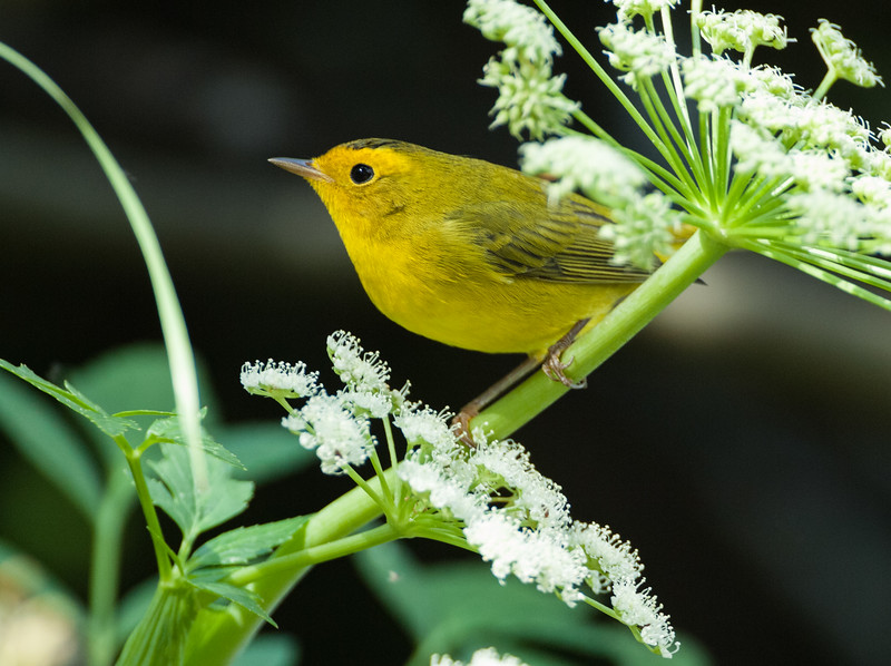 Wilson's Warbler, North-Central Idaho