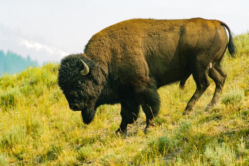 Buffalo, Yellowstone National Park, Wyoming