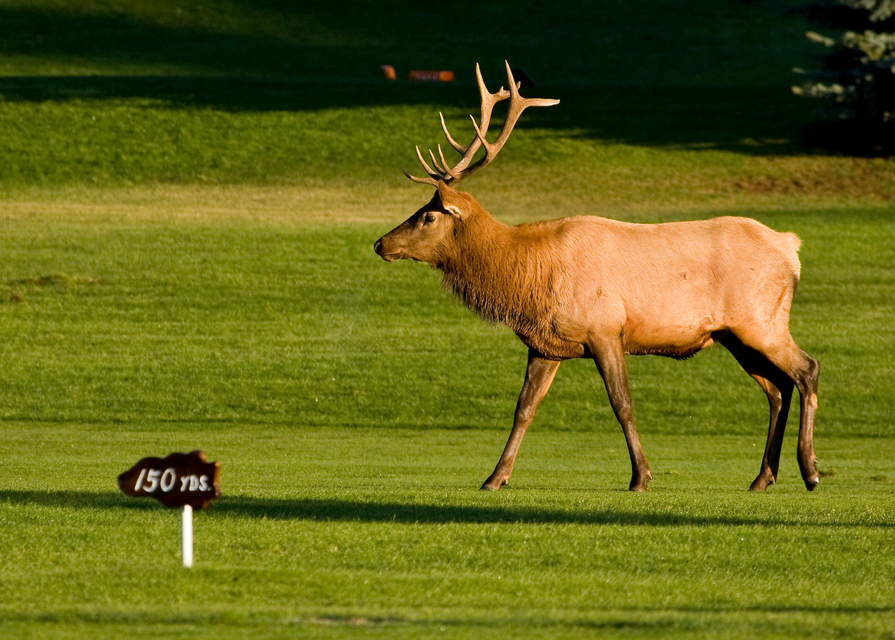 Younger Bull Elk on Estes Lake Golf Course in Estes Park, Colorado
