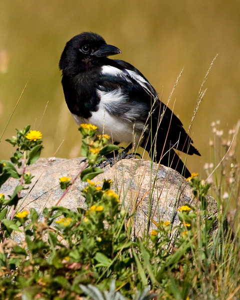 Magpie on Rock in Rocky Mountain National Park