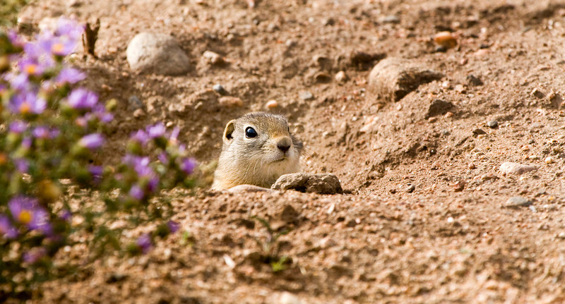 Gopher on the lookout near Estes Lake.