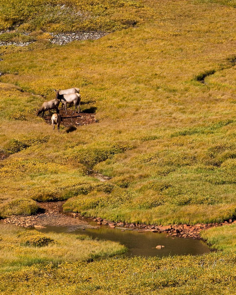 Elk cows grazing in a high alpine mountain valley under the Alpine Visitor Center on the Old Fall River Road in Rocky Mountains National Park