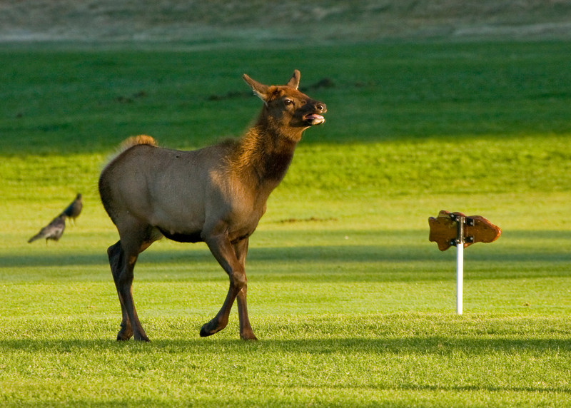 Yearling Elk on golf course in Estes Park. He was excited by the older bulls bugling and charging each other and wanted in on the action!