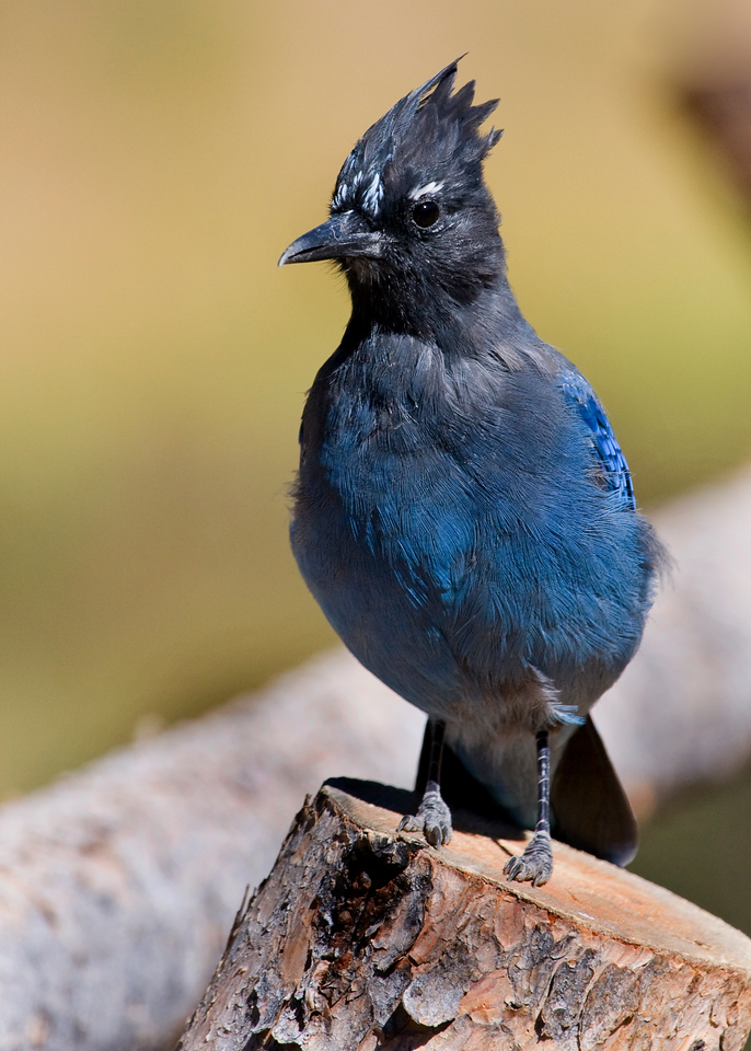 Stellar's Jay on wood fence in the Beaver Ponds park in the Kawunechee Valley. Saw moose here but they were buried in the marshes behind large shrubs and no good shots resulted.