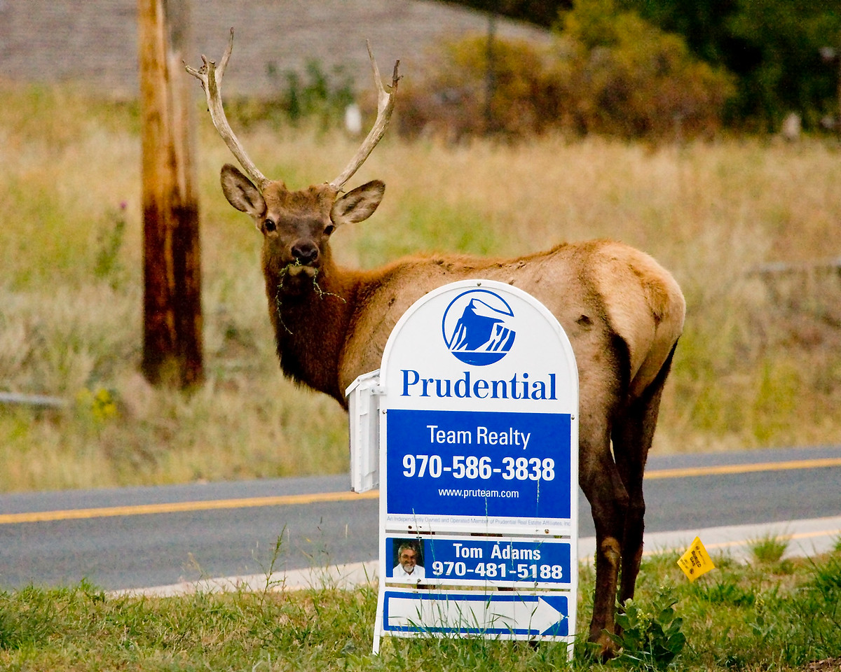 Young Elk looking to purchase a house in Estes Park, he had to sample the grass first though.